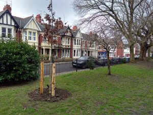 Tree replanted in Roath Mill